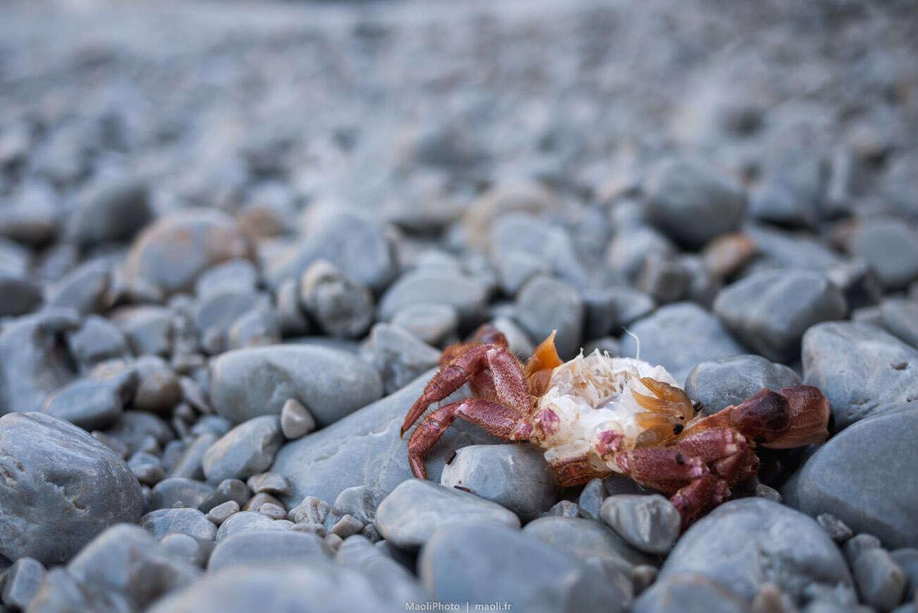 Crabe mort