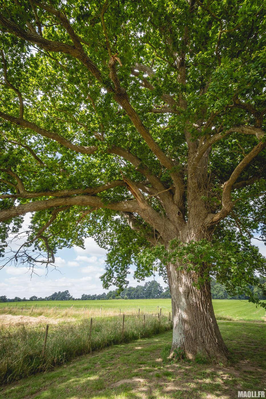 Vieil arbre du domaine
