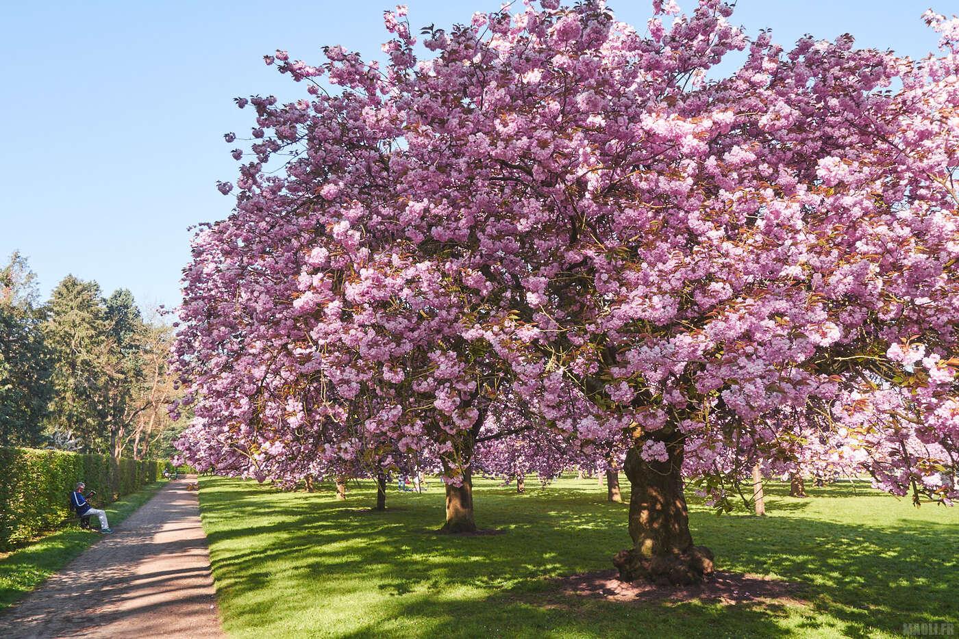 Verger de cerisiers roses - Parc de Sceaux