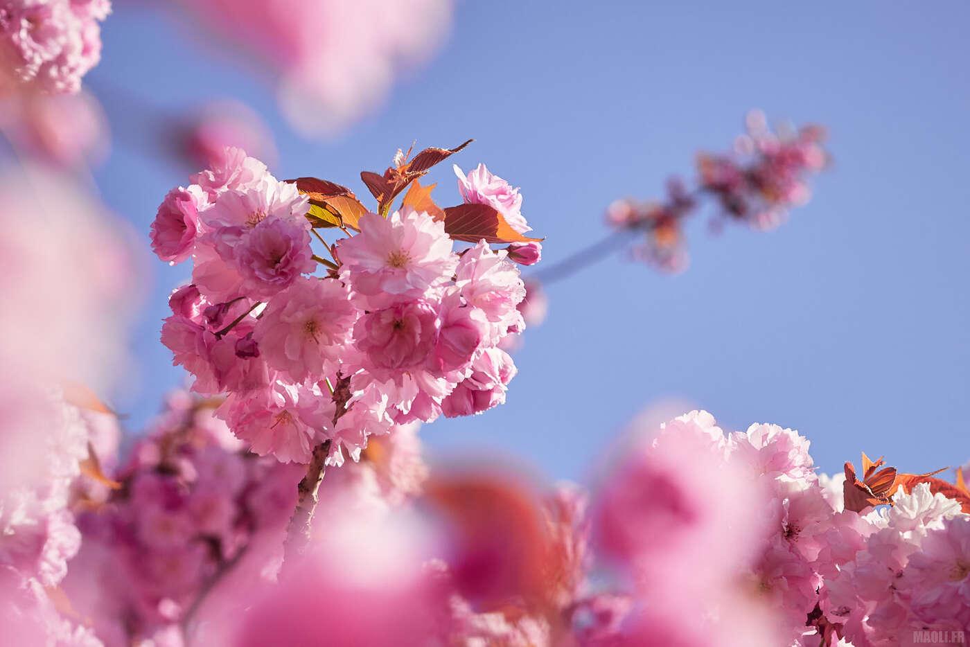 Fleurs de sakura au parc de Sceaux