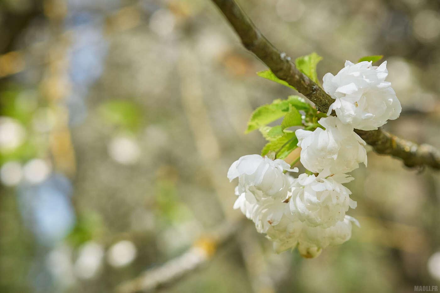 Verger de cerisiers blancs au parc de Sceaux