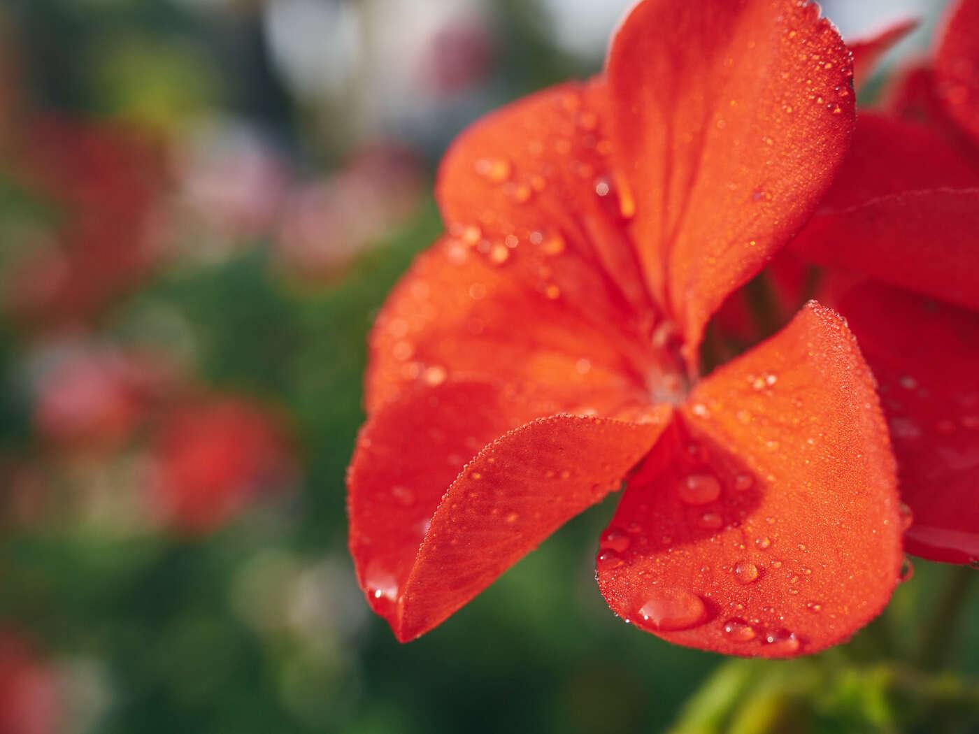 Fleurs du jardin de Claude Monet