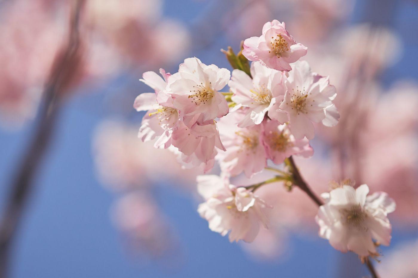 Hanami cerisier 2021