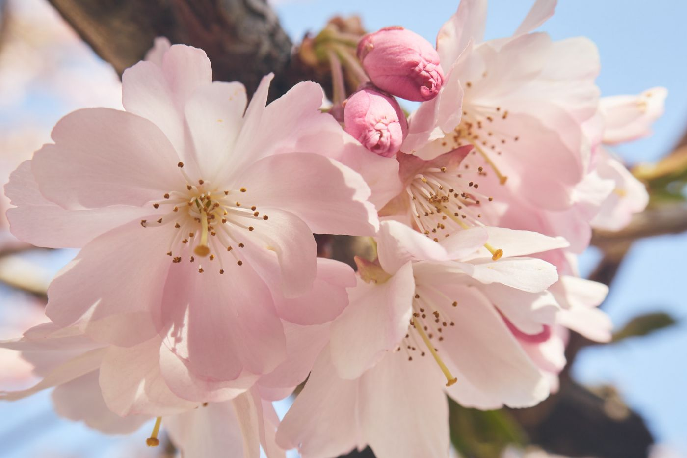 Hanami cerisiers 2021